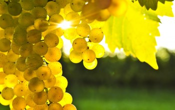 golden,leaves,Grapes,sunlights,tree