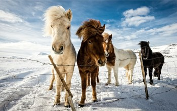 horse,snow,winter,fields