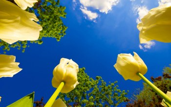 tulips,yellow,blue sky