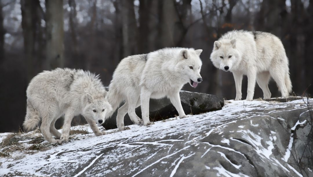 White,wolves,forest,snow,winter