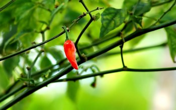 Red,chili,pepper,leaves,branch,tree