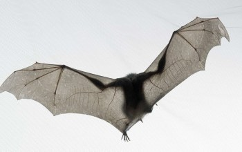 Bat,tim flach,Летучая мышь,National geographic
