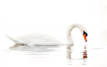 лебедь,water,swan,Вода,white background