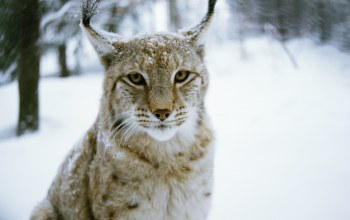 Рысь,cat,Хищник,Lynx,wood,Кошка,winter,Predator