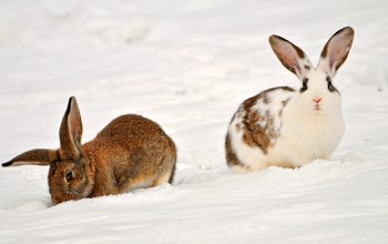 two rabbits in the snow,Кролики