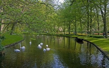swans,water,park,tree