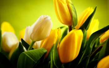 beautiful,Yellow tulips