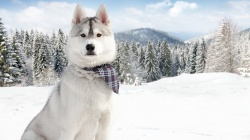 animals,syberian,Animal,husky,winter