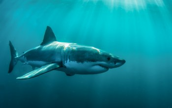 body,Predator,ocean,white shark