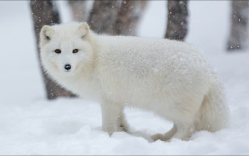 artic fox,winter,писец,animals