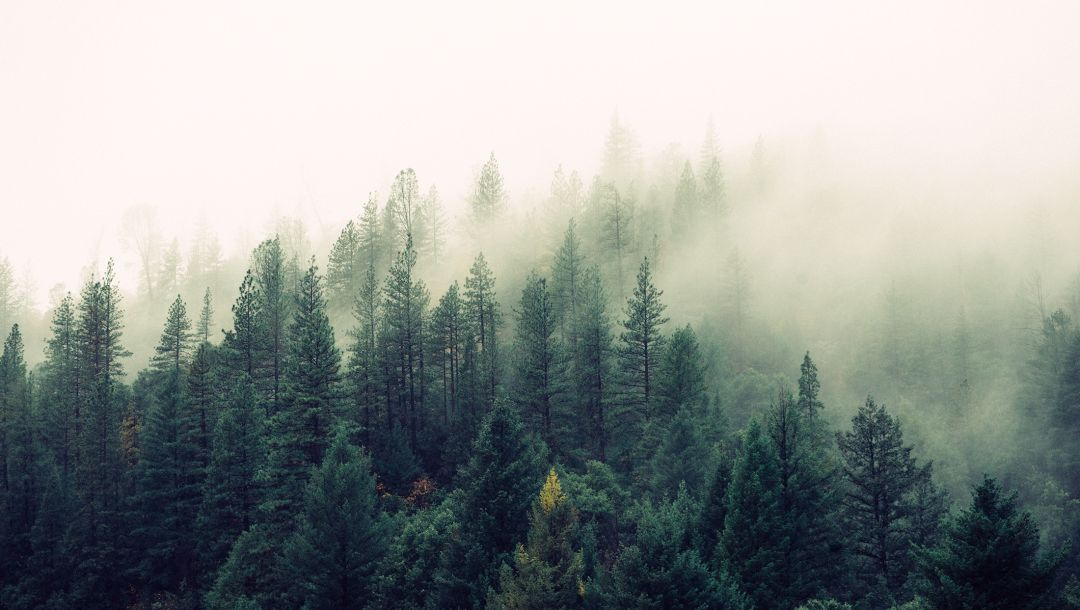 leafage,pines,trees,forest,fog