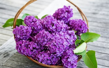 lilac,spring,basket,Purple