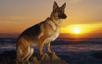 posture,German shepherd dog,cute,Sunset