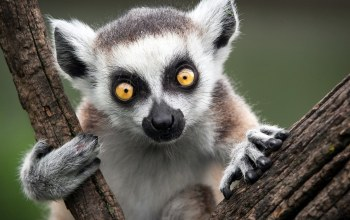 tree,Lemur,holding,branch