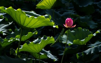 цветок,Вода,water,leaves,lotus,blossom,pound,пруд,flower