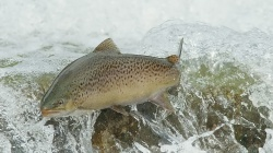 Вода,BROWN TROUT,рыба