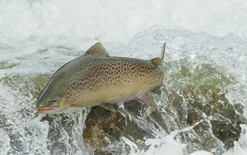 Вода,BROWN TROUT