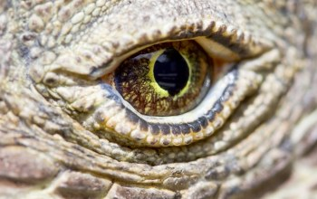 reptile,eye,komodo dragon,scales