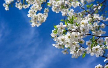 branches,Весна,цветы,spring,leaves,sky,cherries,Вишня,tree