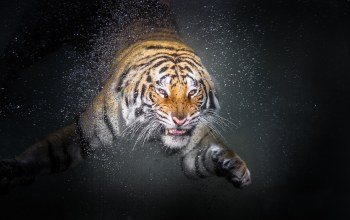 Animal,Tiger,water,drop