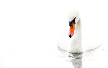 water,лебедь,swan,Вода,white background