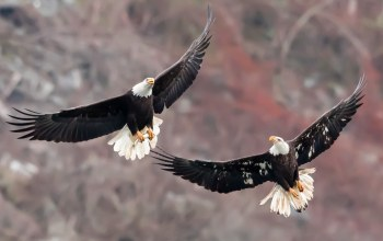 когти,Bald Eagles