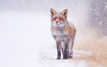 winter,forest,snowing,Fox,snow