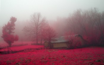Red,flower,mist,tree