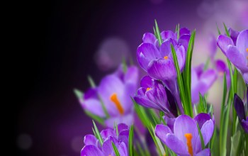 flower,beautiful,crocus,petals,цветы