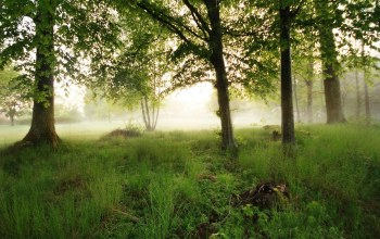 forest,mist,tree,morning