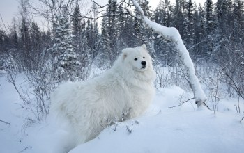 samoyed,snow,cute