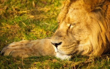wild,sleeping lion,king