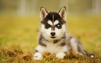 husky,puppy,cute