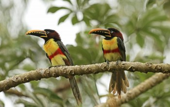 couple,chestnut-eared Aracari,Birds,forest