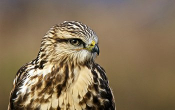 профиль,Rough-legged hawk,мохноногий канюк,ястреб,зимняк,portrait,Buteo lagopus