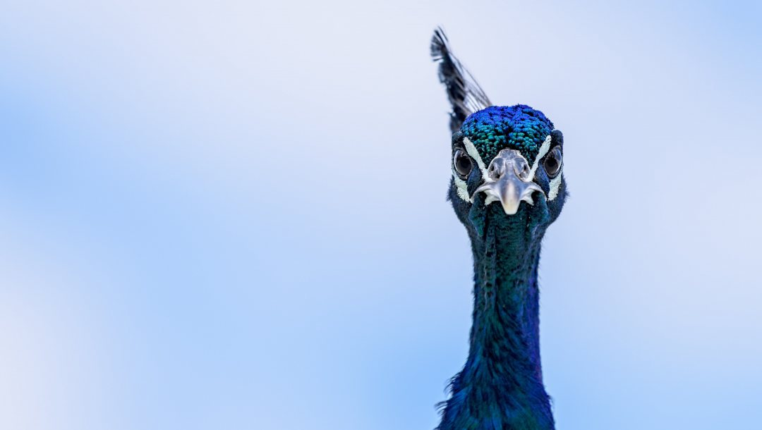 eyes,blue,Peacock