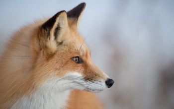 Fox,looking,wildlife,eye