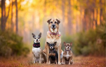 собаки,Семья,dog family,dog breath,chihuahua,пинчер,Kaylee Greer,bokeh,cute dogs