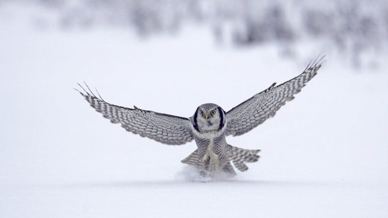 flying,Owl