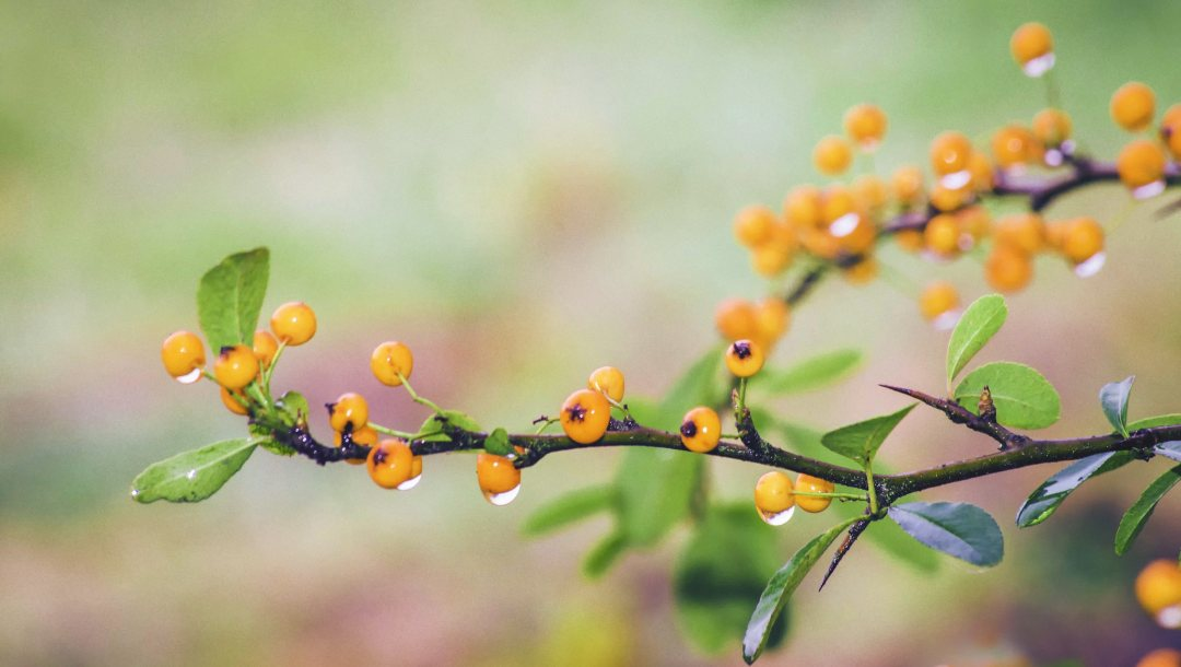 dewdrops,berries,branches