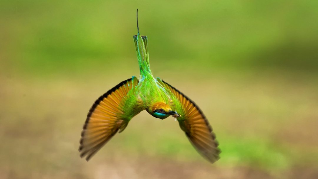 bee,eater