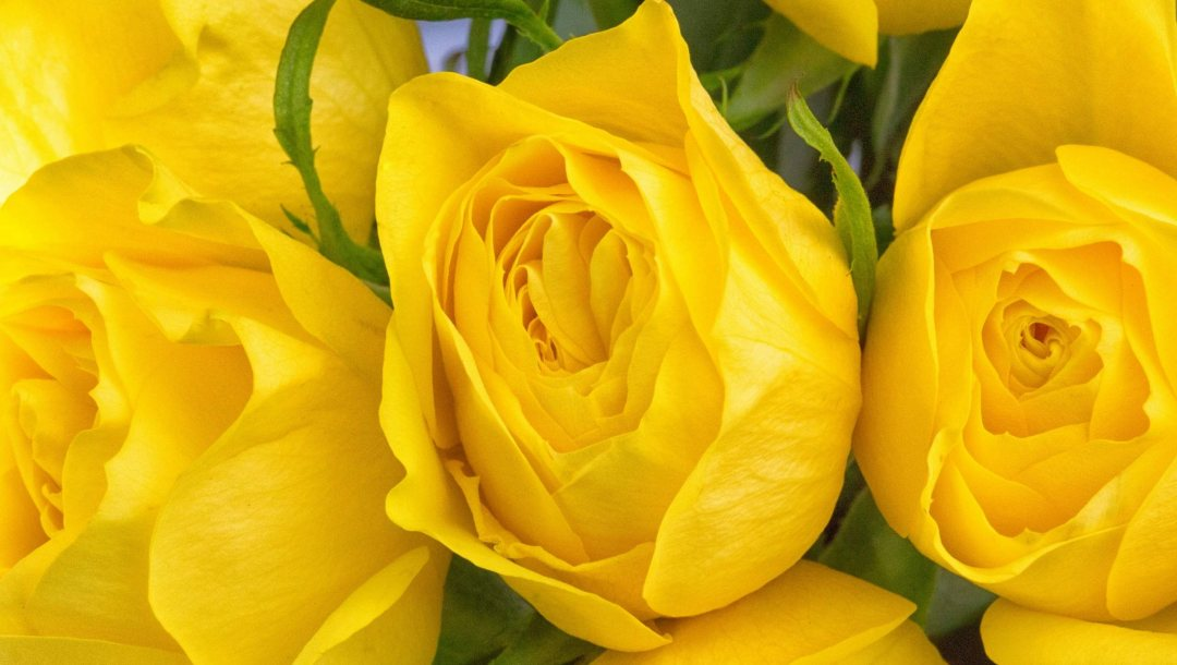yellow,roses,background