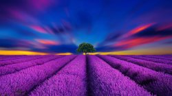 lavender,flowers,field,Sunset