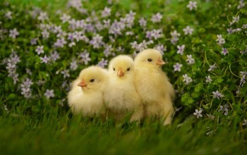 baby,cute,chicks