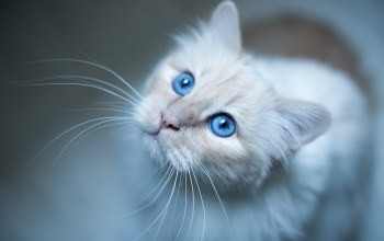 cat,blue,eyes,burmese