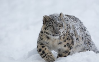 cold,snow,forest,winter,Snow leopard