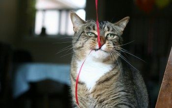 fur,funny,feline,Animal,muzzle,ears,ribbon,situation,whiskers,cat,bite