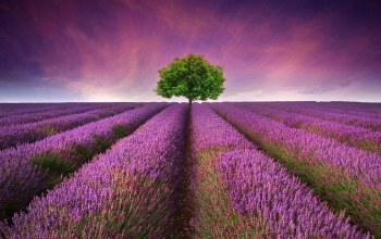 lavender,flower,field