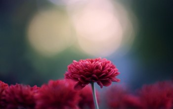 flower,chrysanthemum,Red
