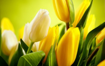 yellow,tulips,cool